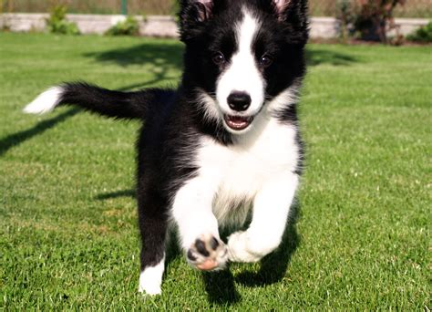 best food for border collie puppy happy puppy border collie is running on the grass wallpapers and images wallpapers