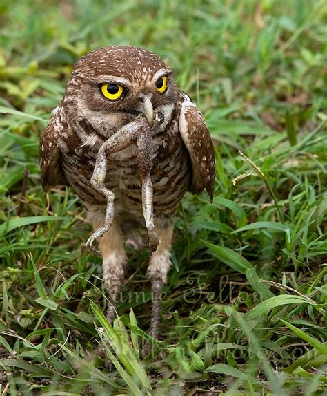burrowing owl eats a frog legs for breakfast burrowing