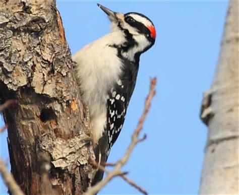ecobirder duluth christmas bird count