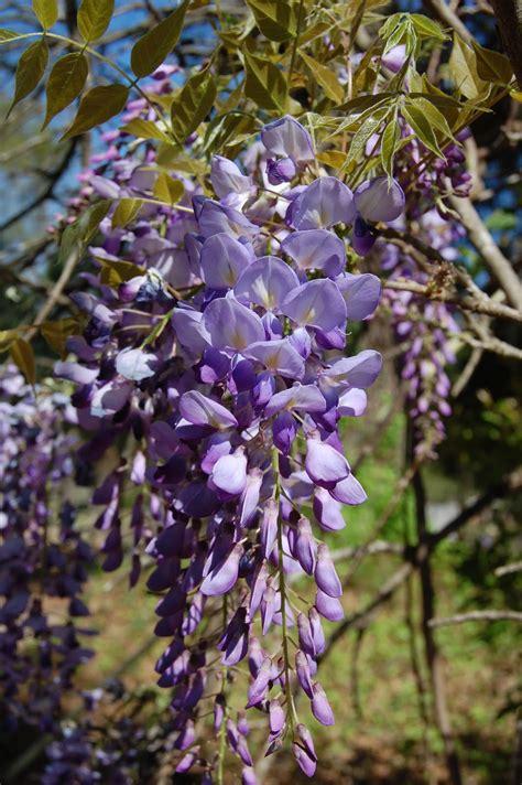 brenda s quot texas wild quot garden wild wisteria vine