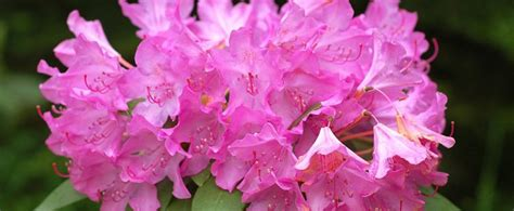 West Virginia Search By Name West Virginia State Flower The Rhododendron Proflowers
