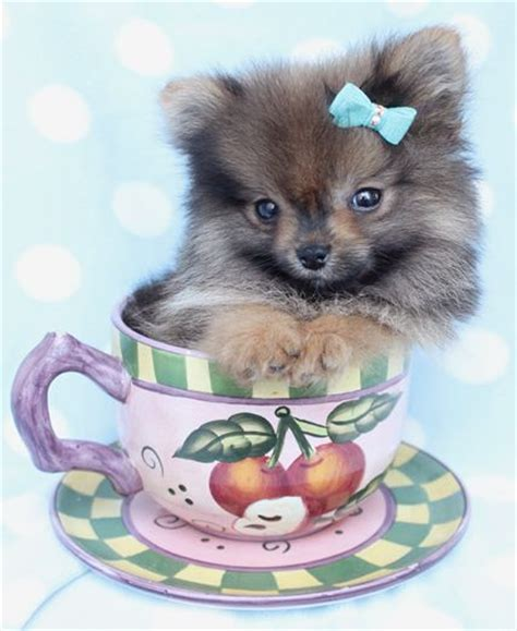 pomeranian boutique 62 best images about teacup pomeranians pomeranian puppies on teacup