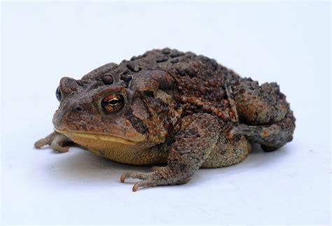 american toad wikipedia