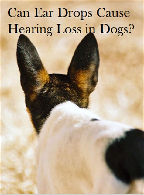 ear drops for dogs these ear drops may be your deaf daily discoveries