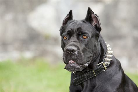 corso dogs corso breed information on corsos