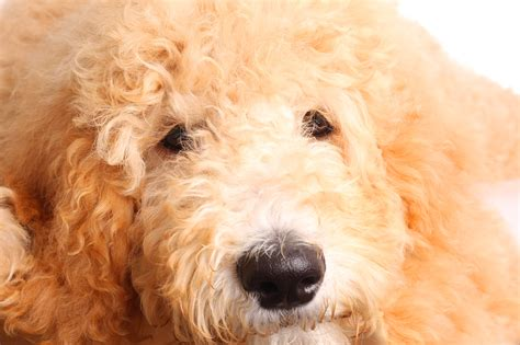what size crate what size crate for a goldendoodle best crates and guidelines barkspace