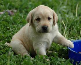 Lab Puppies Puppy Lab Hd Wallpaper Free Images At Clker Vector