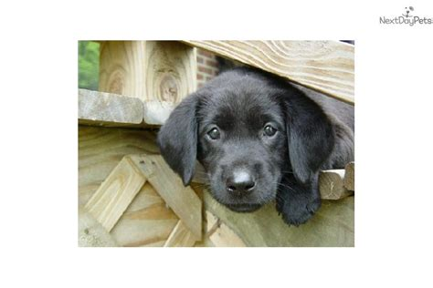 free puppies in chattanooga akc black labrador retriever puppy for sale near chattanooga tennessee