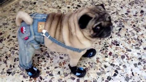 pug puppy clothes pug walks in shoes and clothes
