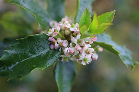 spring blooms on a holly berry bush in bristow va