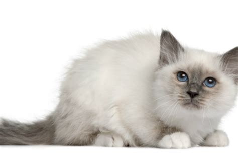 6 Cat Breeds With Blue Eyes   PawCulture