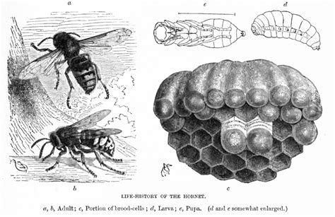 hornet cycle diagram hornet definition what is
