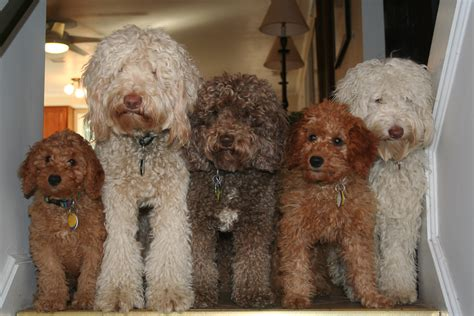 labradoodle puppies indiana state labradoodles breeder of authentic australian multi generation labradoodles