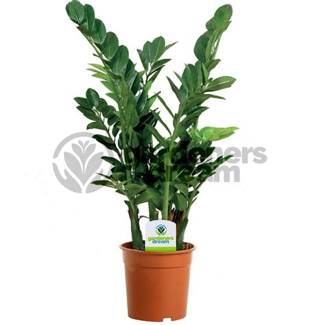 live indoor plants gardenersdream indoor plant mix 3 plants house