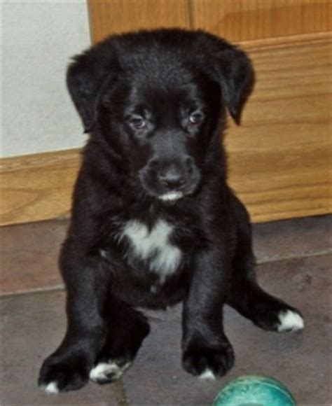golden retriever puppies lubbock golden retriever border collie mix breed puppies border collie mix