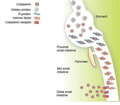 r protein cobalamin the of nutrition