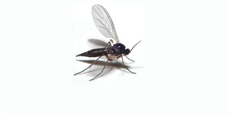how to kill gnats in house how do you get rid of flies in your house how to get rid of compost gnats there
