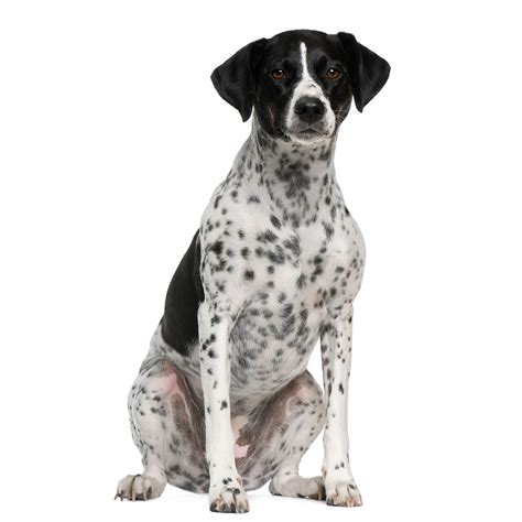breeds d breeds with black and white spots breed of breeds picture