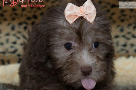 havapoo puppies california havapoo puppy for sale near west palm florida 06476ca2 fad1