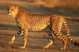 Are Jaguars In Africa File Cheetah Kruger Jpg Wikimedia Commons