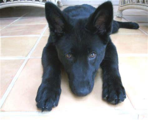 all black german shepherd puppies solid black german shepherd solid black gsd