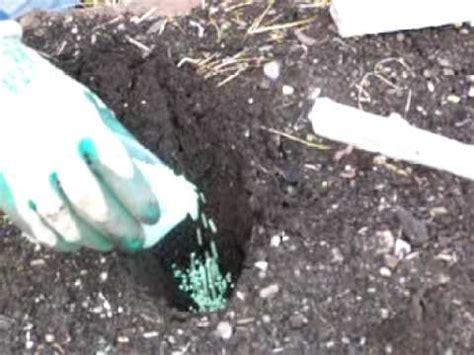how to plant dahlias by the dahliaguy com youtube