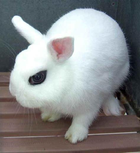 alimentazione conigli nani hotot nano