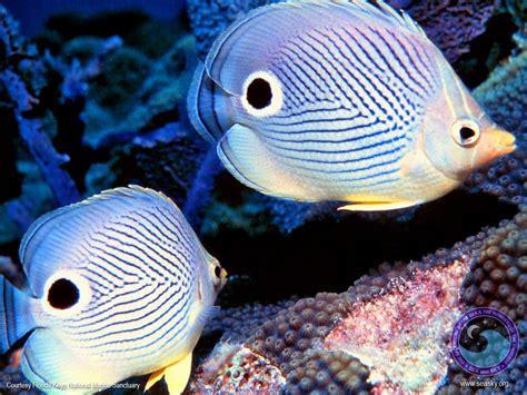 wallpaper bergerak ikan hias koleksi gambar ikan hias cantik wallpaper