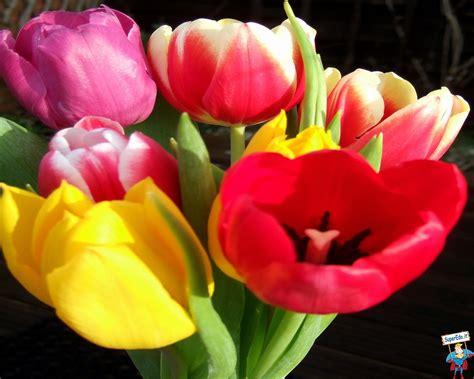 immagini di fiori tulipani immagini tulipani 80 immagini in alta definizione hd