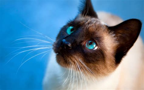 cat wallpaper for windows 7 siamese cat hd photography wallpaper animal wallpapers