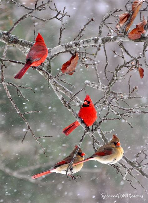 17 best images about cardinals in winter on pinterest