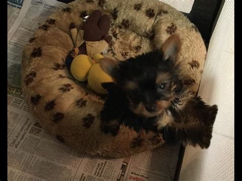 pupcity puppies for sale terrier puppies for sale auto design tech