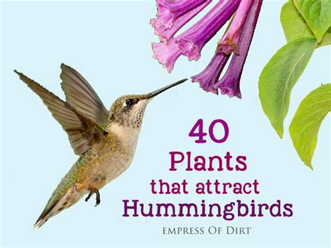 flowers that attract hummingbirds feeding tips empress