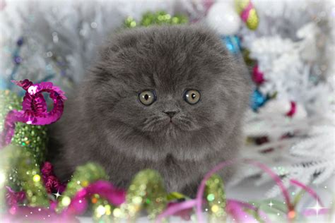 rug hugger kittens blue teacup rug hugger floppy eared kitten for saleultra kittens for sale 660