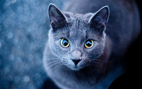 blue cats blue cat green wallpapers blue cat green stock