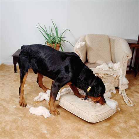 dog rs for couch couch animal stock photos kimballstock