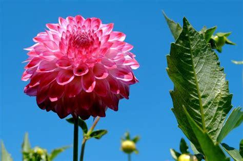 la flor de dalia laberinto dalia caracter 237 sticas cuidados cultivo flor planta