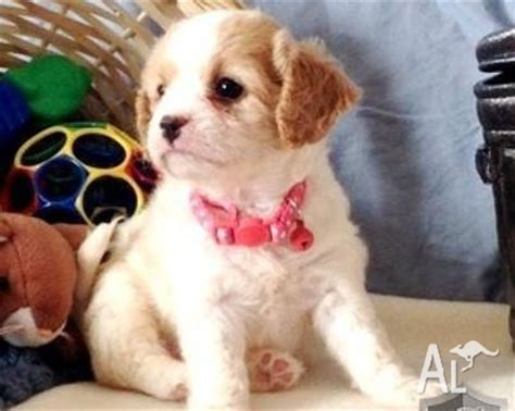 potty trained puppies for sale potty trained cavachon puppies for sale in murray bridge south australia classified