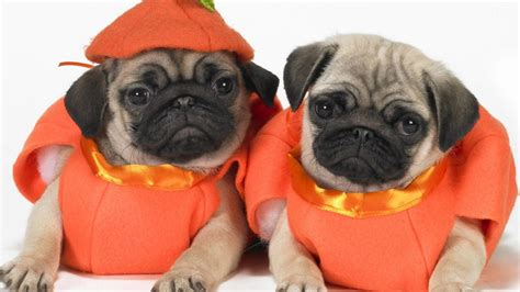 pugs in costumes pictures two pug dogs photo and wallpaper beautiful two pug dogs pictures