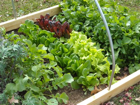 Winter Vegetable Gardens Lettuce In The Winter Garden