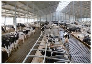 steel structure cowshed dairy farm shed building buy