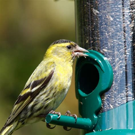 1000 ideas about nyjer seed on pinterest goldfinch