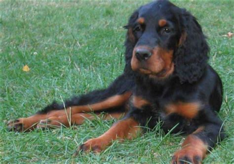 gordon setter dog rescue united gordon setter rehoming support rescue review