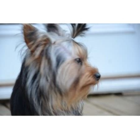 yorkies for sale in kingsport tn wendy terrier breeder in kingsport tennessee listing id 20309