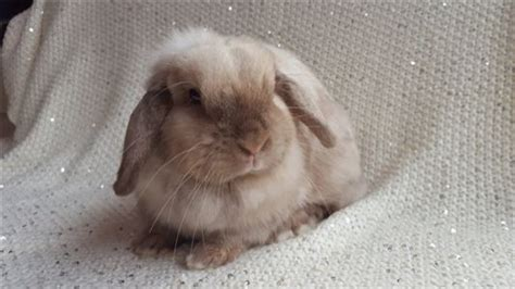 bunnies for sale near me rabbits for sale near me free rabbits bunnies for sale