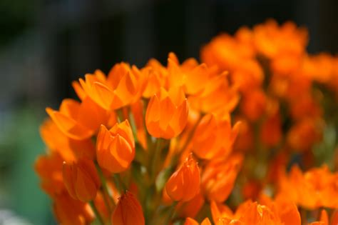 pictures of orange flowers beautiful flowers
