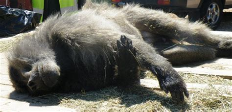 mourners run   dead body turns   baboon  funeral
