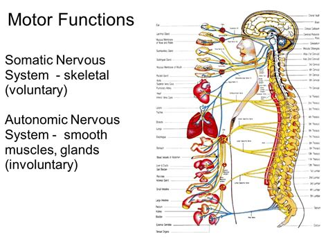 motor functions the nervous system communication ppt