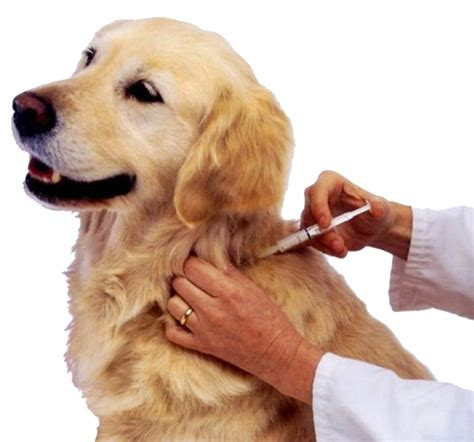 what is a microchip for dogs scvnews may 4 low cost pet microchips at valencia park 05 01 2013