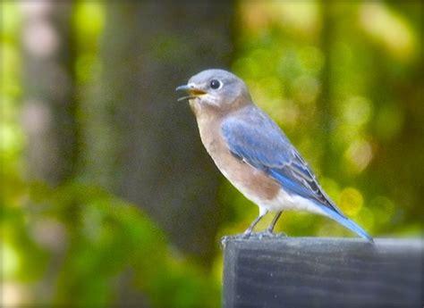tips for attracting bluebirds deb s garden deb s